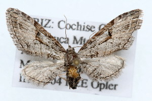 (Eupithecia bolterii - CSU-CPG-LEP002370)  @14 [ ] Copyright (2009) Paul Opler Colorado State University