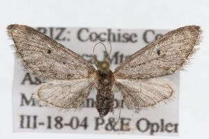 (Eupithecia herefordaria - CSU-CPG-LEP002382)  @14 [ ] Copyright (2009) Paul Opler Colorado State University
