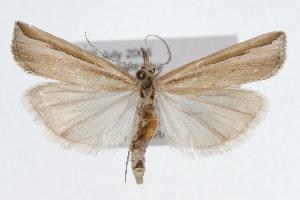 (Thaumatopsis fernaldella - CSU-CPG-LEP002476)  @15 [ ] Copyright (2009) Paul Opler Colorado State University