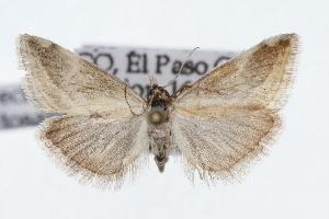 (Frechinia lutosalis - CSU-CPG-LEP002492)  @15 [ ] Copyright (2009) Paul Opler Colorado State University