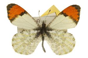 (Anthocharis julia stella - CSUPOBK-0529)  @15 [ ] CreativeCommons - Attribution Non-Commercial Share-Alike (2010) CBG Photography Group Centre for Biodiversity Genomics