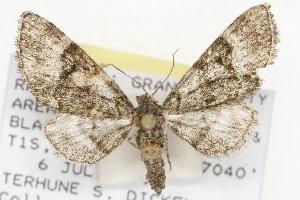 (Eupithecia edna - CSUPOBK-1479)  @14 [ ] CreativeCommons - Attribution Non-Commercial Share-Alike (2010) CBG Photography Group Centre for Biodiversity Genomics