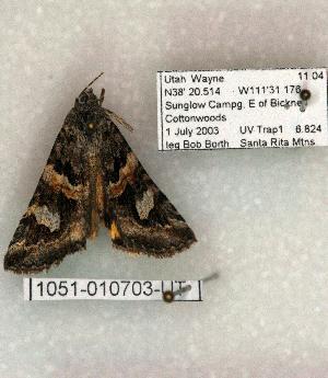 (Drasteria hudsonica seposita - 1051-010703-UT)  @12 [ ] Copyright (2008) Robert J. Borth Research Collection of Robert J. Borth
