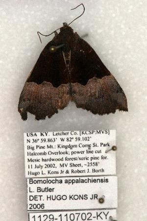 (Hypena appalachiensis - 1129-110702-KY)  @13 [ ] Copyright (2008) Robert J. Borth Research Collection of Robert J. Borth