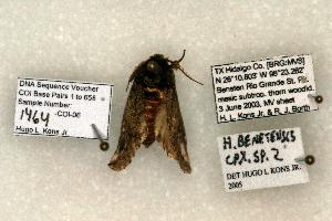(Heterocampa benitensis - 1464-CO1-06)  @13 [ ] Copyright (2008) Robert J. Borth Research Collection of Robert J. Borth