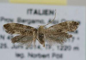 (Triaxomera baldensis - TLMF Lep 17312)  @13 [ ] CreativeCommons - Attribution Non-Commercial Share-Alike (2015) Peter Huemer Tiroler Landesmuseum Ferdinandeum