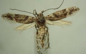 (Gnorimoschema brachyptera - TLMF Lep 21634)  @11 [ ] CreativeCommons - Attribution Non-Commercial Share-Alike (2016) Peter Huemer Tiroler Landesmuseum