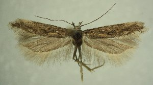 (Gnorimoschema sp. pr. nordlandicolella - TLMF Lep 21644)  @11 [ ] CreativeCommons - Attribution Non-Commercial Share-Alike (2016) Peter Huemer Tiroler Landesmuseum