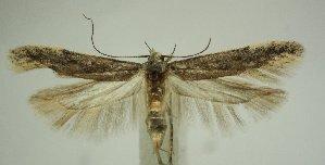 (Gnorimoschema pamira - TLMF Lep 21647)  @11 [ ] CreativeCommons - Attribution Non-Commercial Share-Alike (2016) Peter Huemer Tiroler Landesmuseum