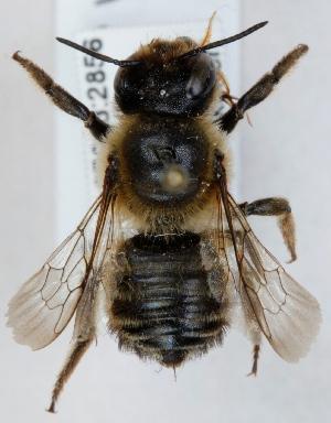 (Megachile willughbiella - FACU-000126)  @15 [ ] CreativeCommons - Attribution Non-Commercial (2012) Marko Mutanen University of Oulu
