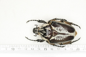 (Goliathus regius - BC-TB7155)  @11 [ ] Copyright (2010) Thierry Bouyer Research Collection of Philippe Leonard