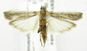 (Nyctegretis cullinanensis - USNM ENT 00808113)  @14 [ ] Unspecified (default): All Rights Reserved  Unspecified Unspecified