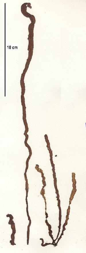 nemalion helminthoides taxonomie paraziți rapid