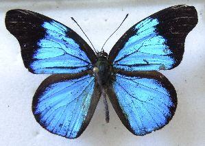 (Poritiinae - MLIB-1422)  @15 [ ] CreativeCommons - Attribution Non-Commercial Share-Alike (2014) Michel Libert Centre for Biodiversity Genomics