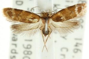 (Elaphromorpha asthenes - CCDB-15754-E04)  @11 [ ] CreativeCommons - Attribution Non-Commercial Share-Alike (2011) CSIRO/BIO Photography Group Centre for Biodiversity Genomics