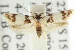 (Elaphromorpha euneta - CCDB-15754-E07)  @11 [ ] CreativeCommons - Attribution Non-Commercial Share-Alike (2011) CSIRO/BIO Photography Group Centre for Biodiversity Genomics