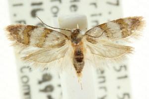(Elaphromorpha glycymilicha - CCDB-15754-E11)  @11 [ ] CreativeCommons - Attribution Non-Commercial Share-Alike (2011) CSIRO/BIO Photography Group Centre for Biodiversity Genomics