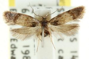 (Elaphromorpha sp. nov - CCDB-15754-F01)  @11 [ ] CreativeCommons - Attribution Non-Commercial Share-Alike (2011) CSIRO/BIO Photography Group Centre for Biodiversity Genomics