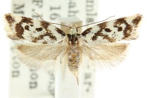 (Cosmaresta leucozancla - CCDB-15756-C01)  @11 [ ] CreativeCommons - Attribution Non-Commercial Share-Alike (2011) CSIRO/BIO Photography Group Centre for Biodiversity Genomics