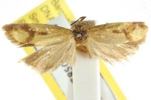 (Plectobela annularis - CCDB-15756-D01)  @11 [ ] CreativeCommons - Attribution Non-Commercial Share-Alike (2011) CSIRO/BIO Photography Group Centre for Biodiversity Genomics