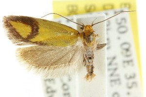 (Plectobela ocellaris - CCDB-15756-D06)  @11 [ ] CreativeCommons - Attribution Non-Commercial Share-Alike (2011) CSIRO/BIO Photography Group Centre for Biodiversity Genomics