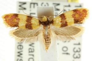 (Psaroxantha miltozona - CCDB-15757-F03)  @13 [ ] CreativeCommons - Attribution Non-Commercial Share-Alike (2011) CSIRO/BIO Photography Group Centre for Biodiversity Genomics