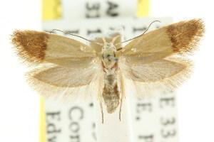 (Brachynemata aphanes - CCDB-15757-H07)  @11 [ ] CreativeCommons - Attribution Non-Commercial Share-Alike (2011) CSIRO/BIO Photography Group Centre for Biodiversity Genomics