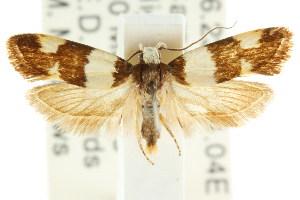 (Brachynemata diantha - CCDB-15758-A02)  @14 [ ] CreativeCommons - Attribution Non-Commercial Share-Alike (2011) CSIRO/BIO Photography Group Centre for Biodiversity Genomics