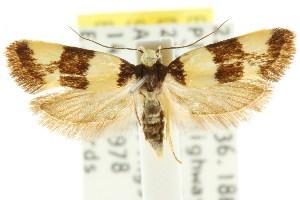 (Brachynemata sp. ANIC1 - CCDB-15758-A03)  @11 [ ] CreativeCommons - Attribution Non-Commercial Share-Alike (2011) CSIRO/BIO Photography Group Centre for Biodiversity Genomics
