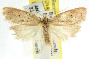 (Stictochila sarcoptera - CCDB-15758-C11)  @11 [ ] CreativeCommons - Attribution Non-Commercial Share-Alike (2011) CSIRO/BIO Photography Group Centre for Biodiversity Genomics