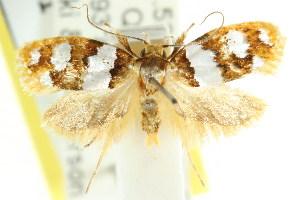 (Piloprepes aemulella - CCDB-15758-G10)  @14 [ ] CreativeCommons - Attribution Non-Commercial Share-Alike (2011) CSIRO/BIO Photography Group Centre for Biodiversity Genomics