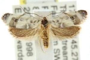 (Piloprepes aristocratica - CCDB-15759-A06)  @13 [ ] CreativeCommons - Attribution Non-Commercial Share-Alike (2011) CSIRO/BIO Photography Group Centre for Biodiversity Genomics