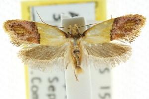 (Placocosma agaclita - CCDB-15759-G09)  @13 [ ] CreativeCommons - Attribution Non-Commercial Share-Alike (2011) CSIRO/BIO Photography Group Centre for Biodiversity Genomics