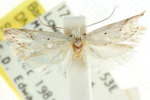 (Acorotricha crystanta - CCDB-15761-G06)  @11 [ ] CreativeCommons - Attribution Non-Commercial Share-Alike (2011) CSIRO/BIO Photography Group Centre for Biodiversity Genomics