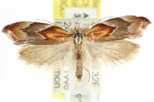 (Deigmoesta lithocosma - CCDB-15762-A01)  @13 [ ] CreativeCommons - Attribution Non-Commercial Share-Alike (2011) CSIRO/BIO Photography Group Centre for Biodiversity Genomics