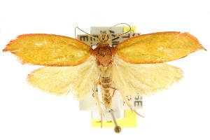 (Wingia sp. ANIC1 - CCDB-15762-E01)  @11 [ ] CreativeCommons - Attribution Non-Commercial Share-Alike (2011) CSIRO/BIO Photography Group Centre for Biodiversity Genomics