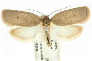 (Euchaetis endoleuca - CCDB-15763-C08)  @14 [ ] CreativeCommons - Attribution Non-Commercial Share-Alike (2011) CSIRO/BIO Photography Group Centre for Biodiversity Genomics
