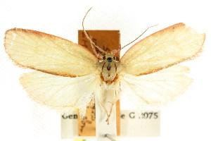(Euchaetis inclusella - CCDB-15764-C04)  @11 [ ] CreativeCommons - Attribution Non-Commercial Share-Alike (2011) CSIRO/BIO Photography Group Centre for Biodiversity Genomics