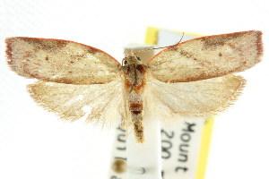 (Euchaetis incarnatella - CCDB-15764-E07)  @15 [ ] CreativeCommons - Attribution Non-Commercial Share-Alike (2011) CSIRO/BIO Photography Group Centre for Biodiversity Genomics