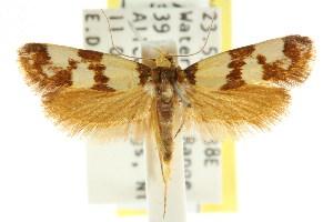 (Brachynemata sp. ANIC2 - CCDB-15767-D01)  @14 [ ] CreativeCommons - Attribution Non-Commercial Share-Alike (2011) CSIRO/BIO Photography Group Centre for Biodiversity Genomics