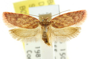(Garrha atoecha - CCDB-15769-C08)  @14 [ ] CreativeCommons - Attribution Non-Commercial Share-Alike (2011) CSIRO/BIO Photography Group Centre for Biodiversity Genomics