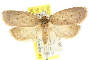 (Garrha mesogaea - CCDB-15771-B05)  @11 [ ] CreativeCommons - Attribution Non-Commercial Share-Alike (2011) CSIRO/BIO Photography Group Centre for Biodiversity Genomics