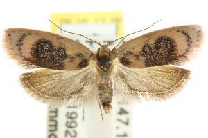 (Garrha ocellifera - CCDB-15772-A11)  @15 [ ] CreativeCommons - Attribution Non-Commercial Share-Alike (2011) CSIRO/BIO Photography Group Centre for Biodiversity Genomics