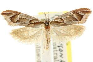 (Zelotechna sp. ANIC1 - CCDB-15776-B02)  @11 [ ] CreativeCommons - Attribution Non-Commercial Share-Alike (2011) CSIRO/BIO Photography Group Centre for Biodiversity Genomics