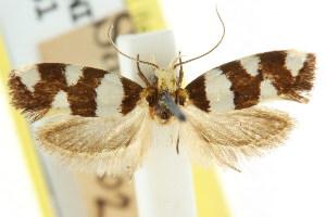 (Placocosma anthopetala - CCDB-15777-C05)  @11 [ ] CreativeCommons - Attribution Non-Commercial Share-Alike (2011) CSIRO/BIO Photography Group Centre for Biodiversity Genomics