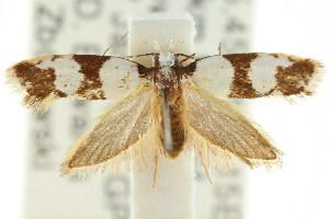 (Eulechria sp. ANIC62 - CCDB-15777-E01)  @14 [ ] CreativeCommons - Attribution Non-Commercial Share-Alike (2011) CSIRO/BIO Photography Group Centre for Biodiversity Genomics