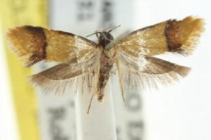 (Coesyra sp. ANIC2 - CCDB-15777-F02)  @11 [ ] CreativeCommons - Attribution Non-Commercial Share-Alike (2011) CSIRO/BIO Photography Group Centre for Biodiversity Genomics