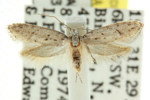(Hesperoptila sp. ANIC2 - CCDB-15784-E05)  @13 [ ] CreativeCommons - Attribution Non-Commercial Share-Alike (2011) CSIRO/BIO Photography Group Centre for Biodiversity Genomics