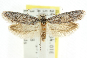(Hesperoptila sp. ANIC23 - CCDB-15785-A05)  @13 [ ] CreativeCommons - Attribution Non-Commercial Share-Alike (2011) CSIRO/BIO Photography Group Centre for Biodiversity Genomics