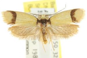 (Eulechria hymenaea - CCDB-15789-H07)  @14 [ ] CreativeCommons - Attribution Non-Commercial Share-Alike (2011) CSIRO/BIO Photography Group Centre for Biodiversity Genomics